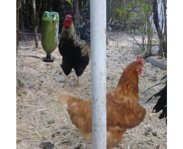 rooster and chicken with feeder