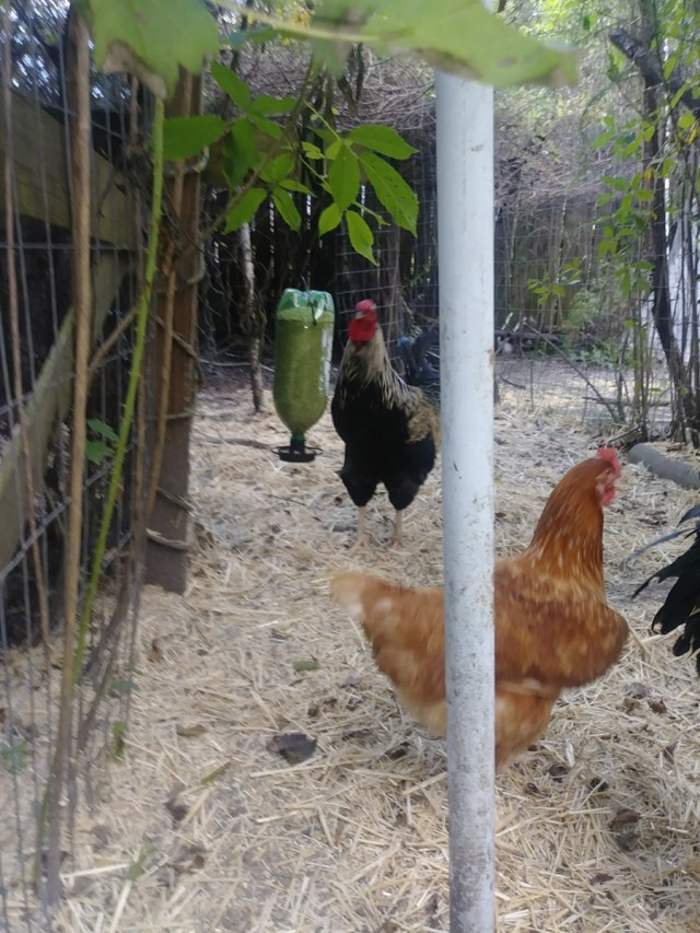 chickens with feeder