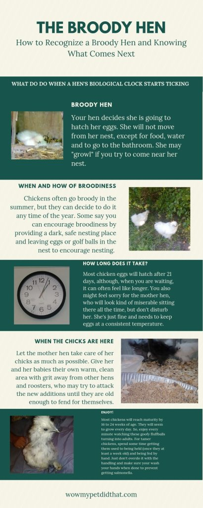 Broody chicken infographic