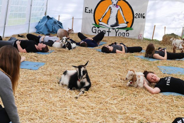 people doing yoga with goats
