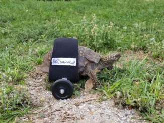 turtle in wheelchair