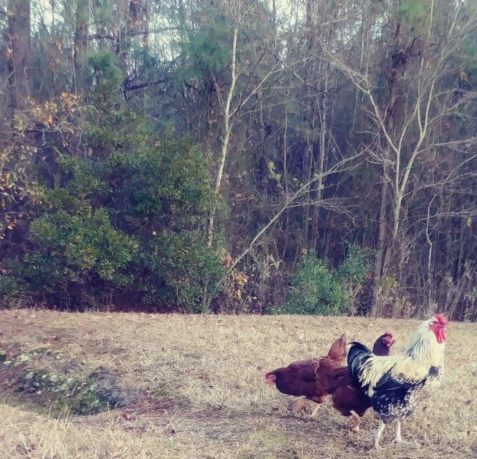 rooster and two hens
