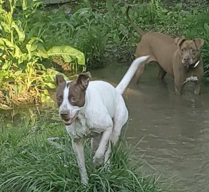 dogs in pond