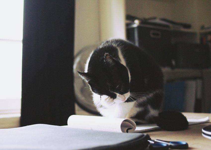 cat on table near work papers