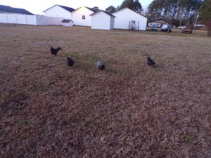 Four chickens in C formation