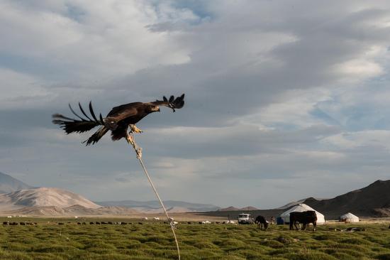 Le aquile reali della Mongolia vengono catturate dai falconieri quando sono ancora piccole