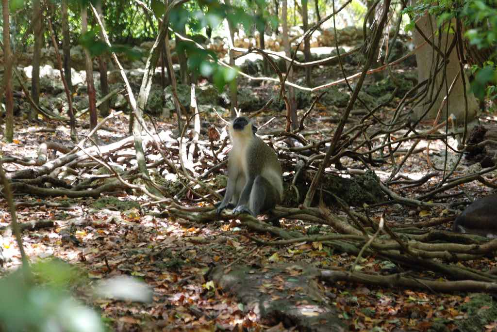 Barbados Wildlife Reserve - by Kent Kanouse - Snap Man:Flickr
