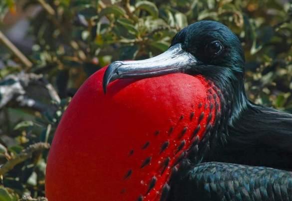 Frigate bird, Seymour Island, Galapagos - by Tim Finley - timmfin:Flickr
