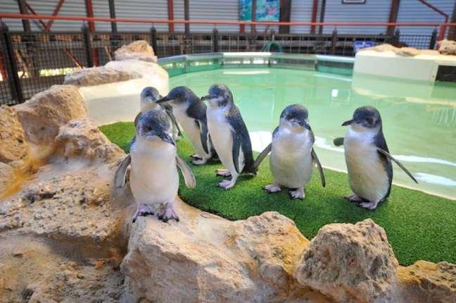 Penguin Feeding at Penguin Island, Perth - by Rockingham Wild Encounters