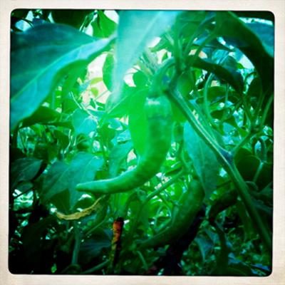 My chilli plant.