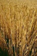 Wheat/Clipart.