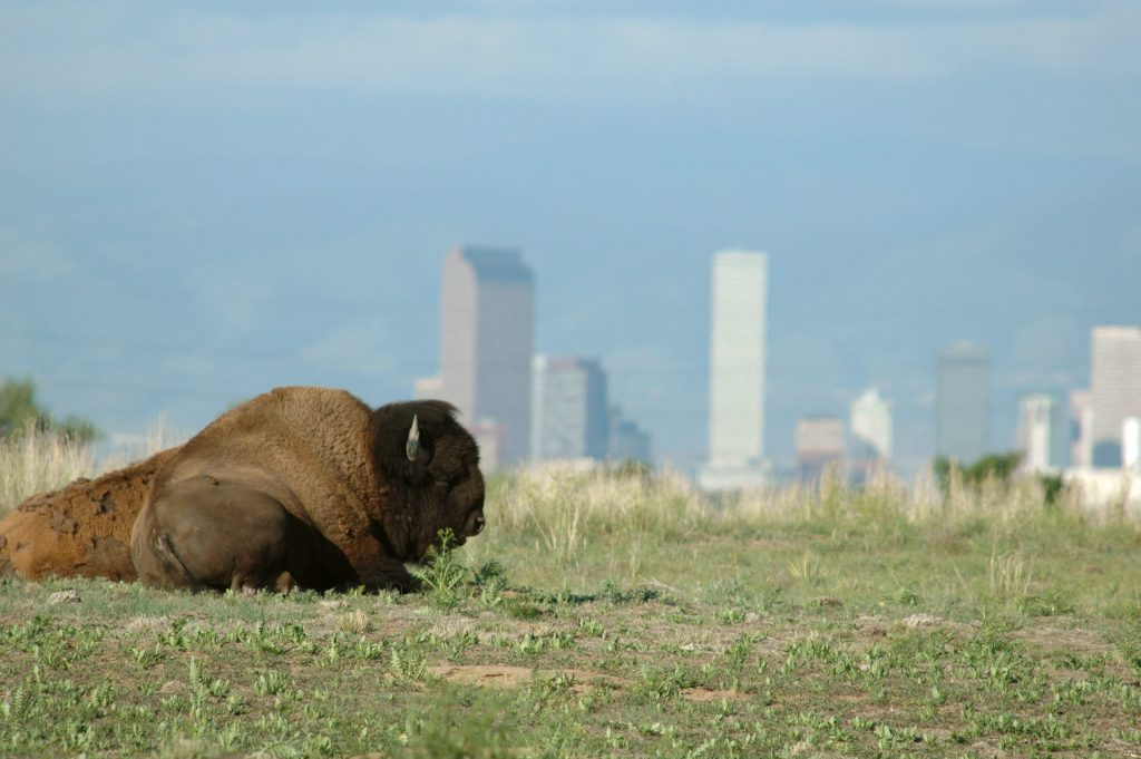 Bison at Rocky Mt. Arsenal