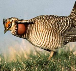 The lesser prairie-chicken