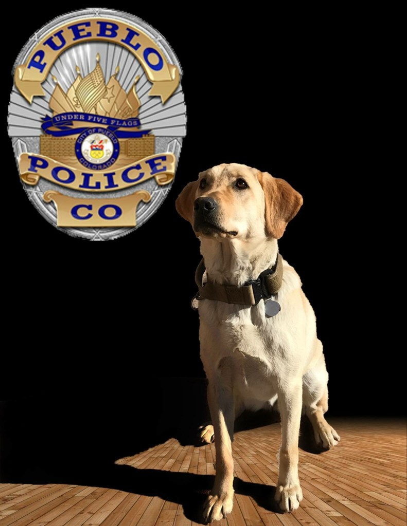 Sage, a 2-year-old golden Labrador Retriever, has been on the force since last fall.