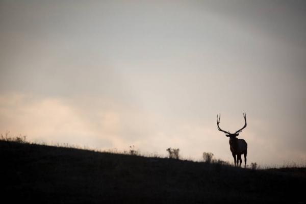 A bull elk in Montana.
