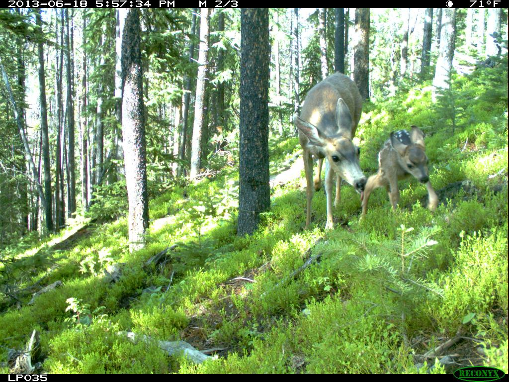 A deer and her fawn as seen through one of the game cameras set up by the CO Parks and Wildlife study
