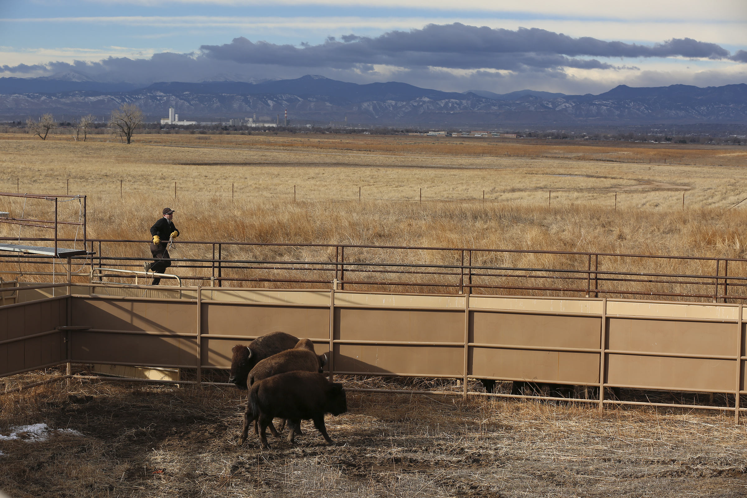 <p>Bison enter a pen at the Rocky Mountain Arsenal. Next, the animals are herded through a series of chutes.</p>