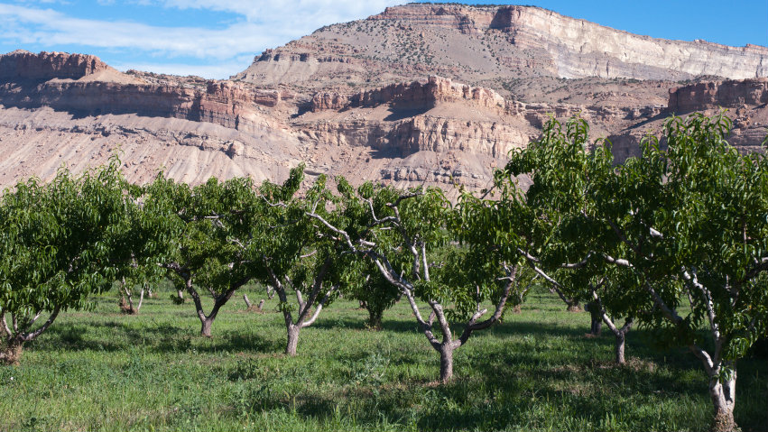 <p>Summer peach orchard near Palisade, Colorado.</p>