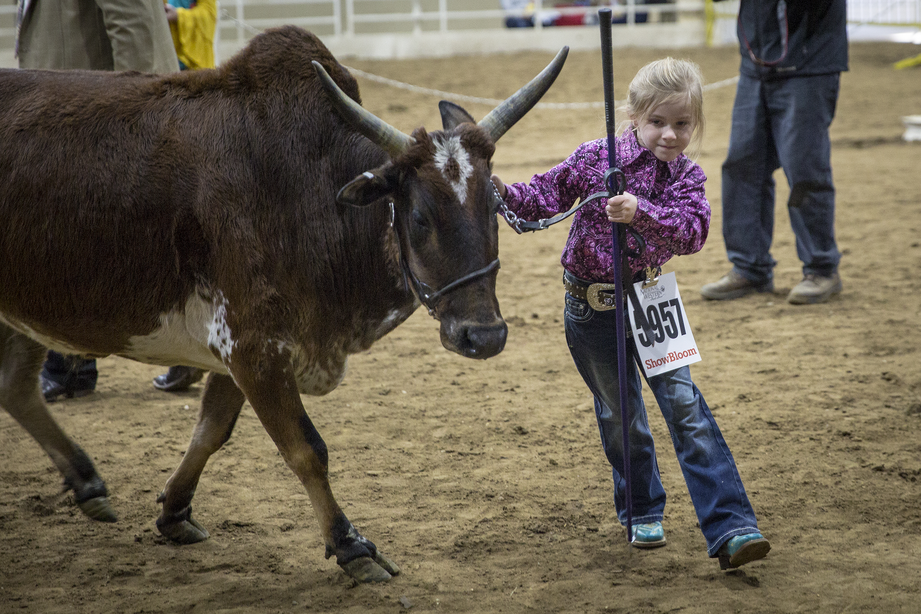 <p>Five-year-old Harley Rummel, of Bennett, helps raise, groom and show their family's zebus at the National Western Stock Show. Zebus are about one-third the size of regular cattle and native to India and parts of South Asia. Besides their small size they're also recognizable because of their distinctive humps and horns. In fact, the hump's size, shape and placement are a key part of how they're judged.</p>