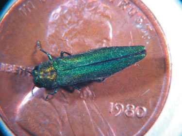 <p>Adult Emerald Ash Borer on a penny.</p>