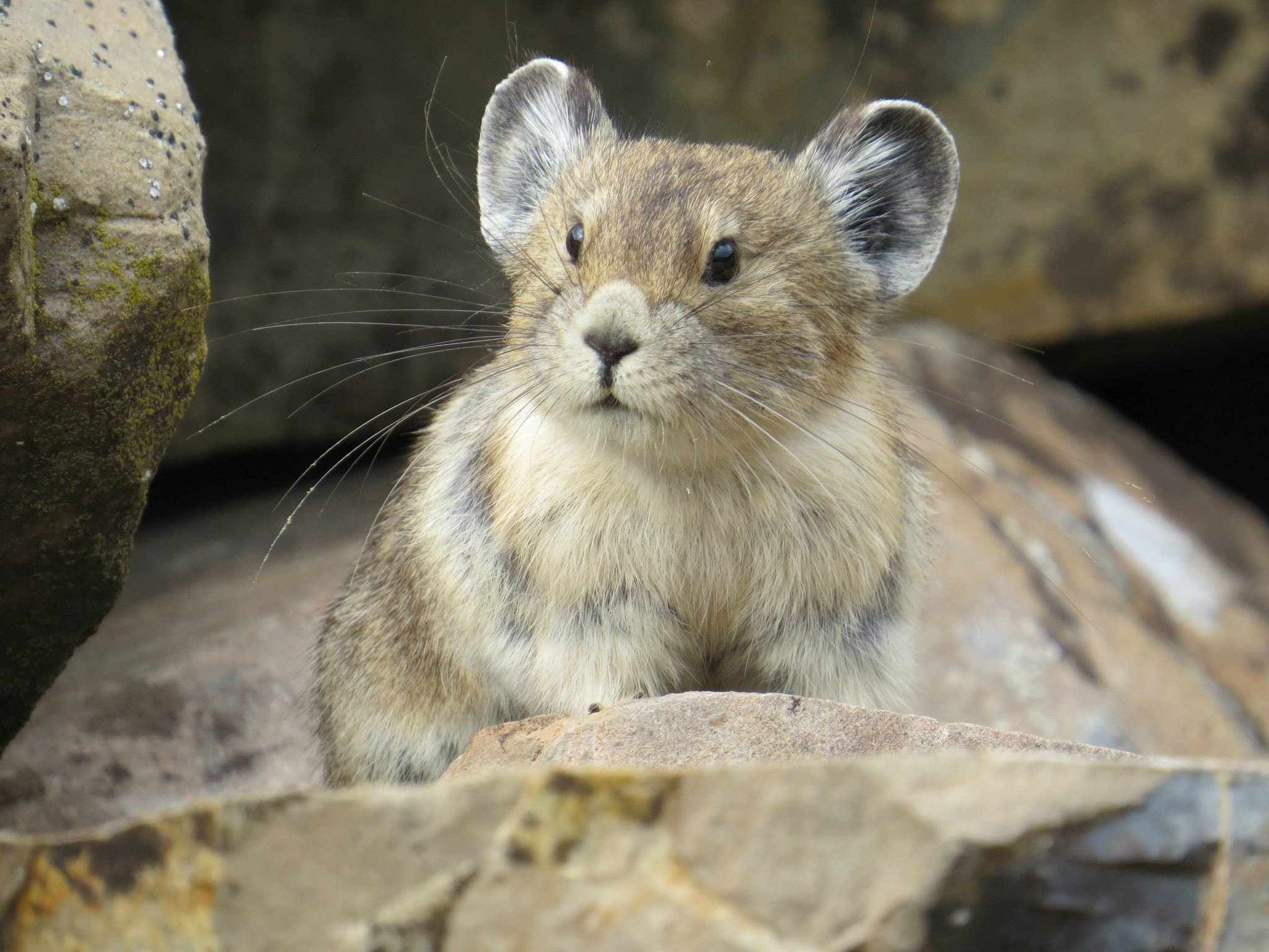 An American pika hangs out on a talus slope.