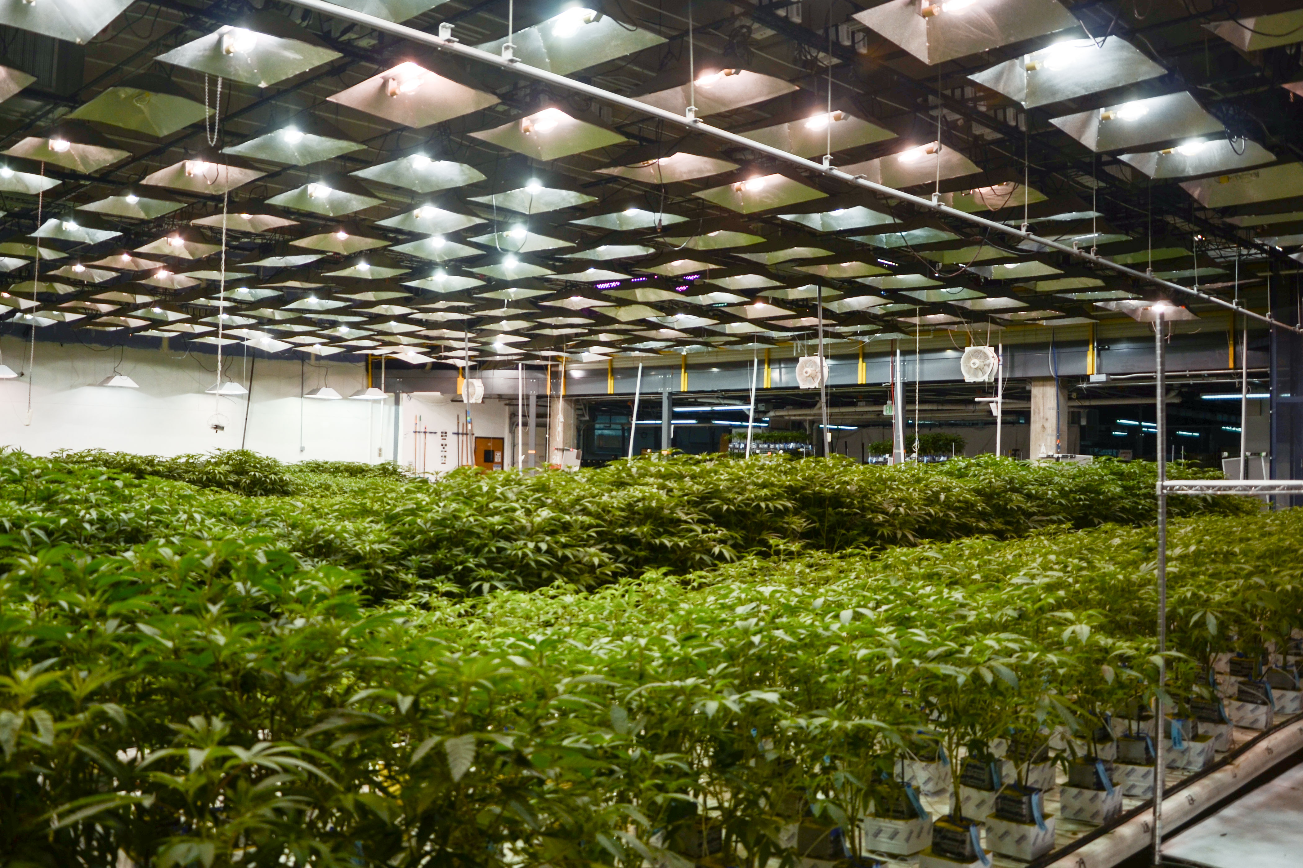 <p>Marijuana grow facilities, such as this one owned by LivWell Enlightened Health, are common employers around Denver, Colo.</p>
