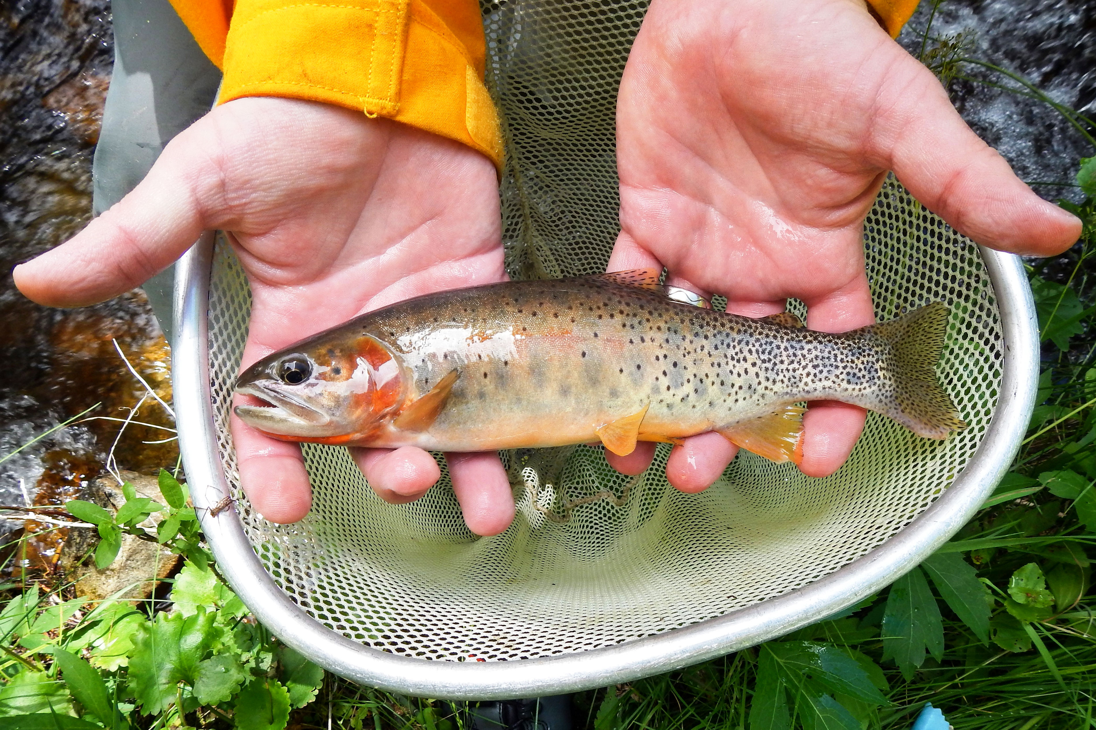 <p>A rare cutthroat trout after it was rescued from the South Prong of Hayden Creek, July 20, 2016. Colorado Parks and Wildlife staff along with U.S. Forest Service volunteers went behind fire lines to save nearly 200 of the unique fish.</p>