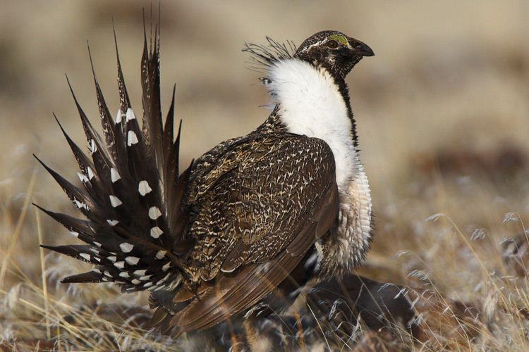<p>Pictured is a Greater Sage Grouse.</p>
