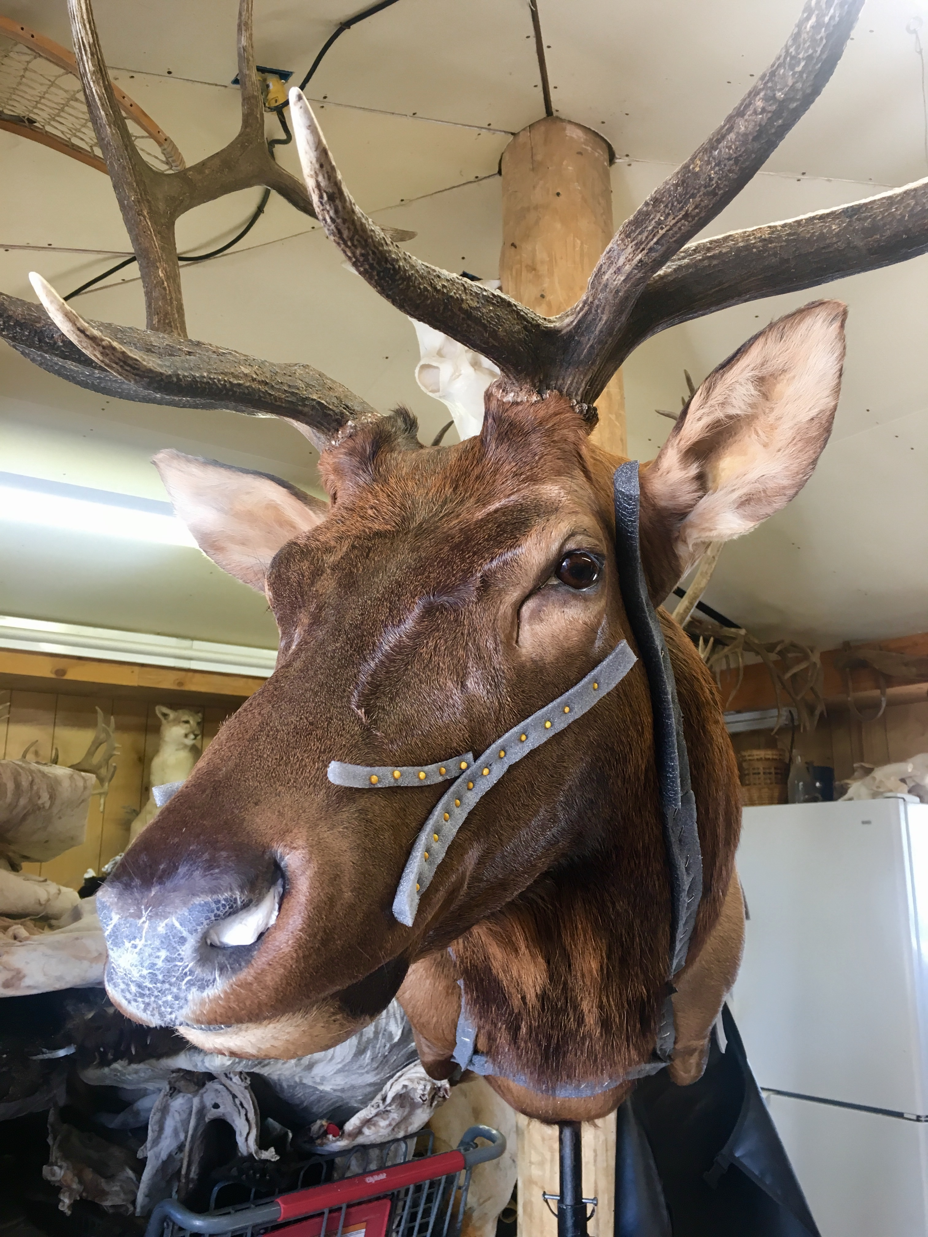 <p>An elk gets a taxidermy face lift.</p>