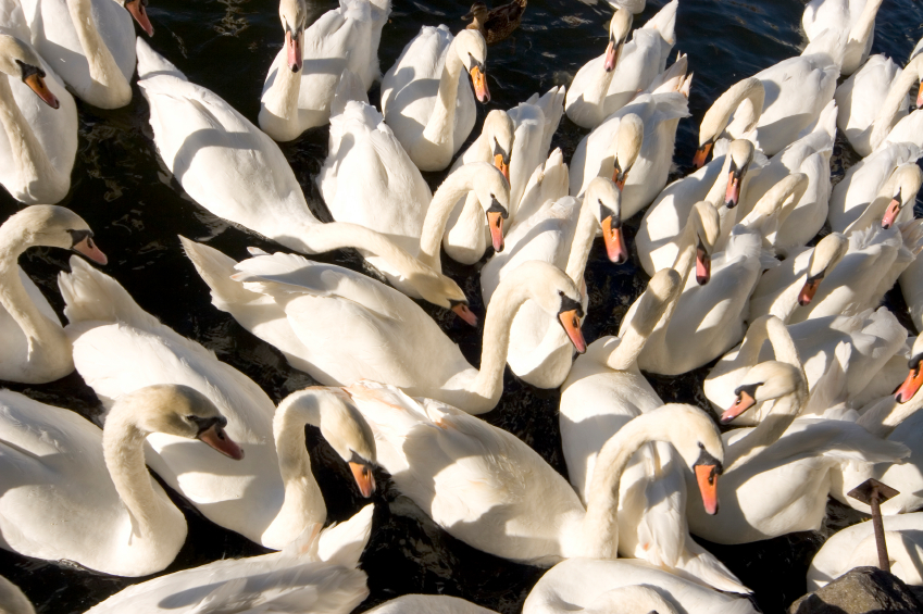 <p>Swans are one of many birds with a special place in the orchestral repertory.</p>