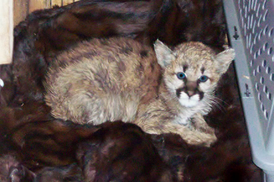 <p>Wildlife officials who seized a mountain lion kitten from a southern Colorado home say the feline fell ill after the residents fed it bratwurst.</p>