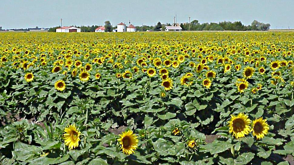 <p>Colorado's sunflower growers will consider paying a higher assessment to improve the crop's yield and marketability.</p>