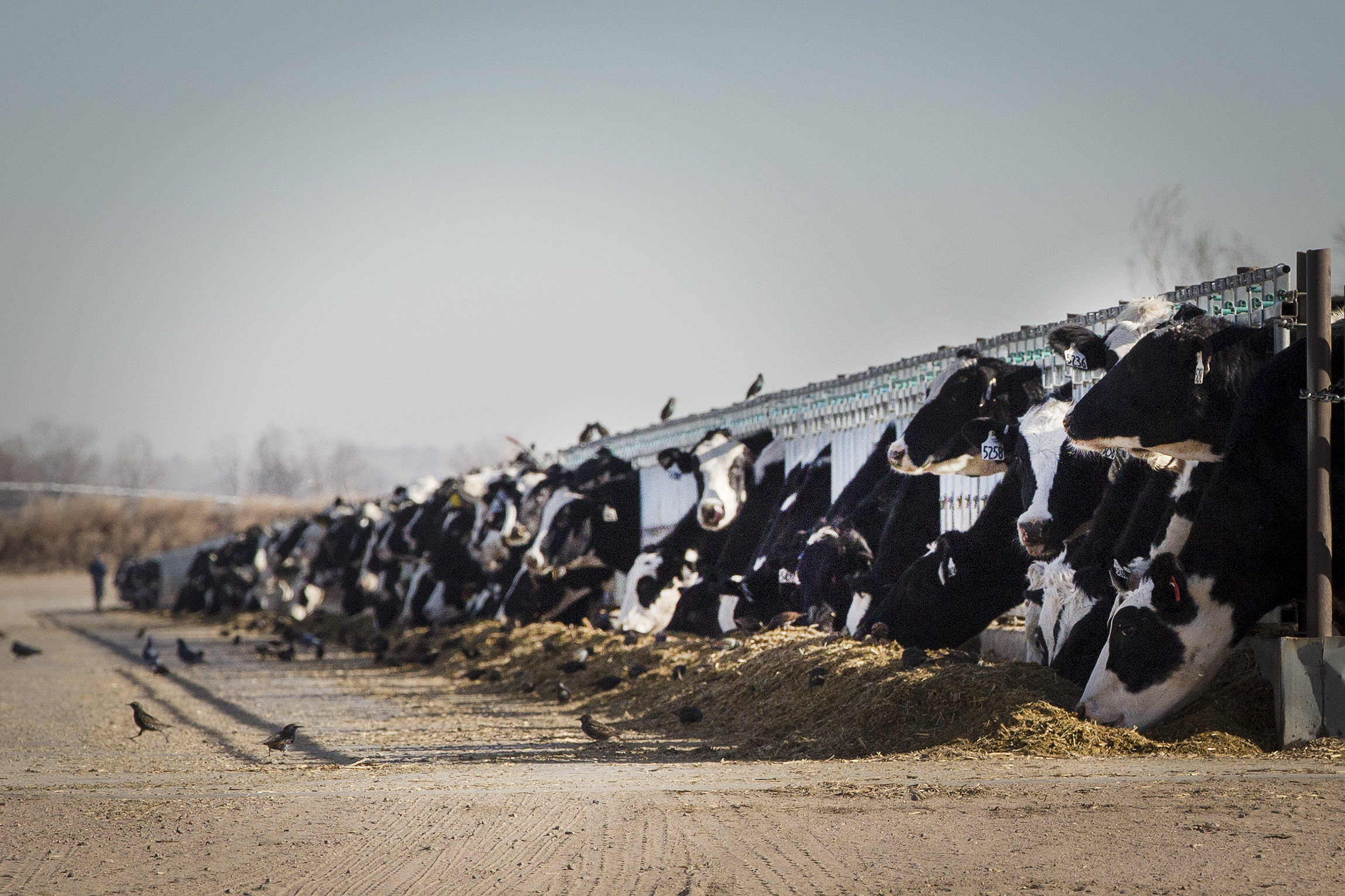 Dairy cattle west of La Salle in Weld County on Dec. 14, 2018.