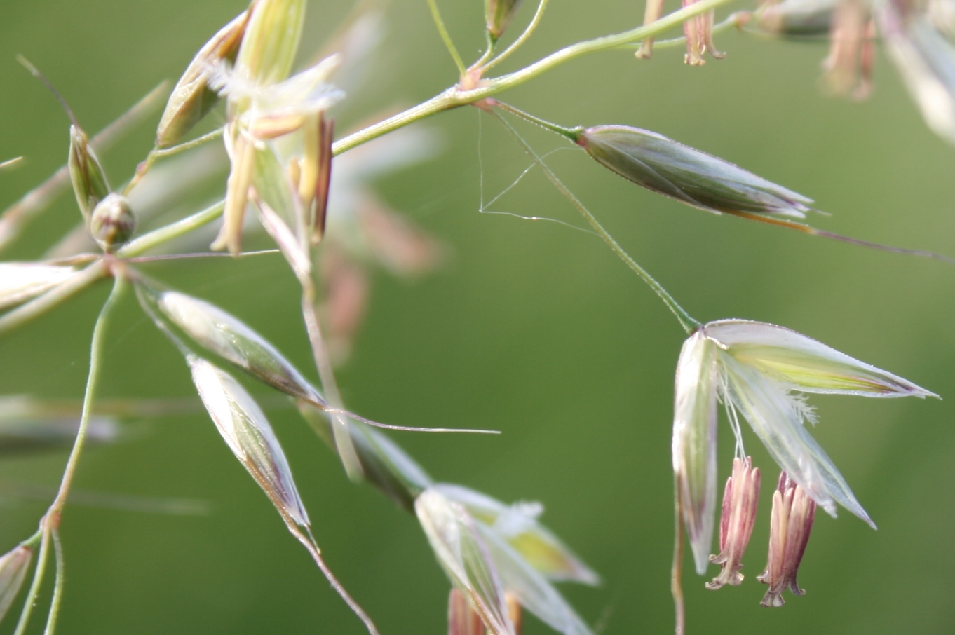 <p>A close view of tall oatgrass, which was introduced to North America from Europe in the early 1800s.</p>