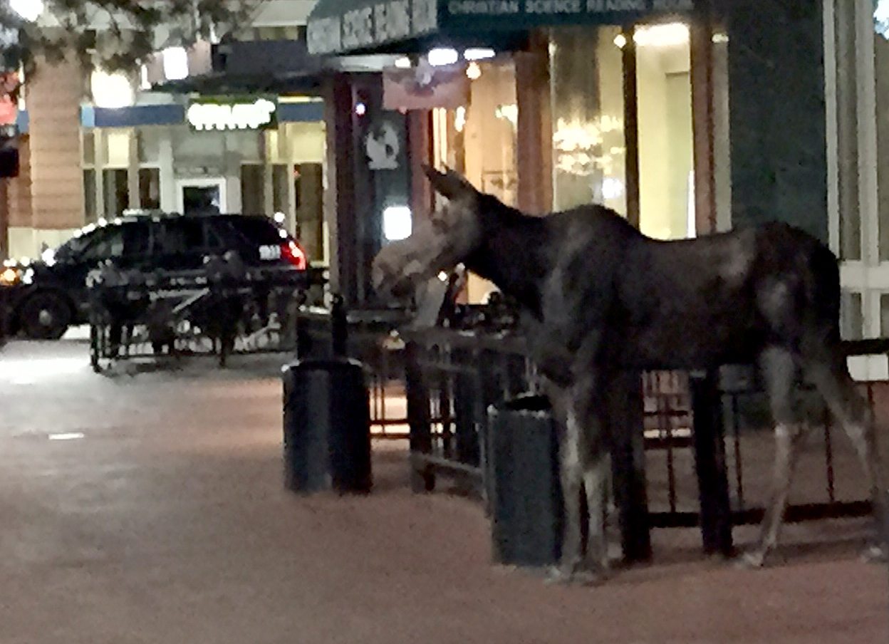 <p>ThisCity of Boulder image shows a moose on the Pearl Street Mall on Sunday, June 21, 2015.</p>
