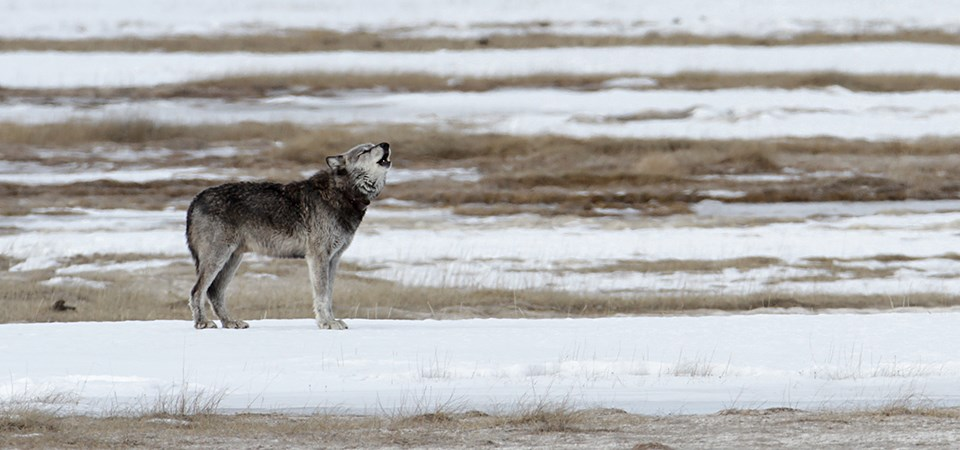 Wolf at Yellowstone National Park