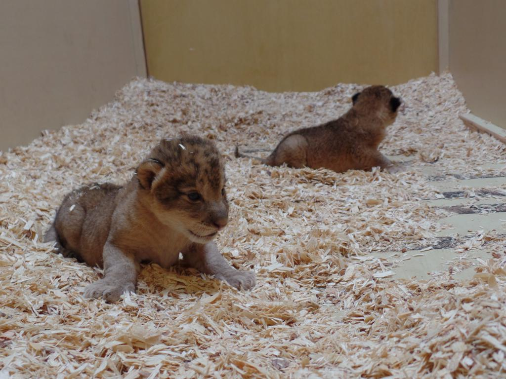 <p>The Denver Zoo is asking metro-area residents to help name its two newborn lion cubs. </p>