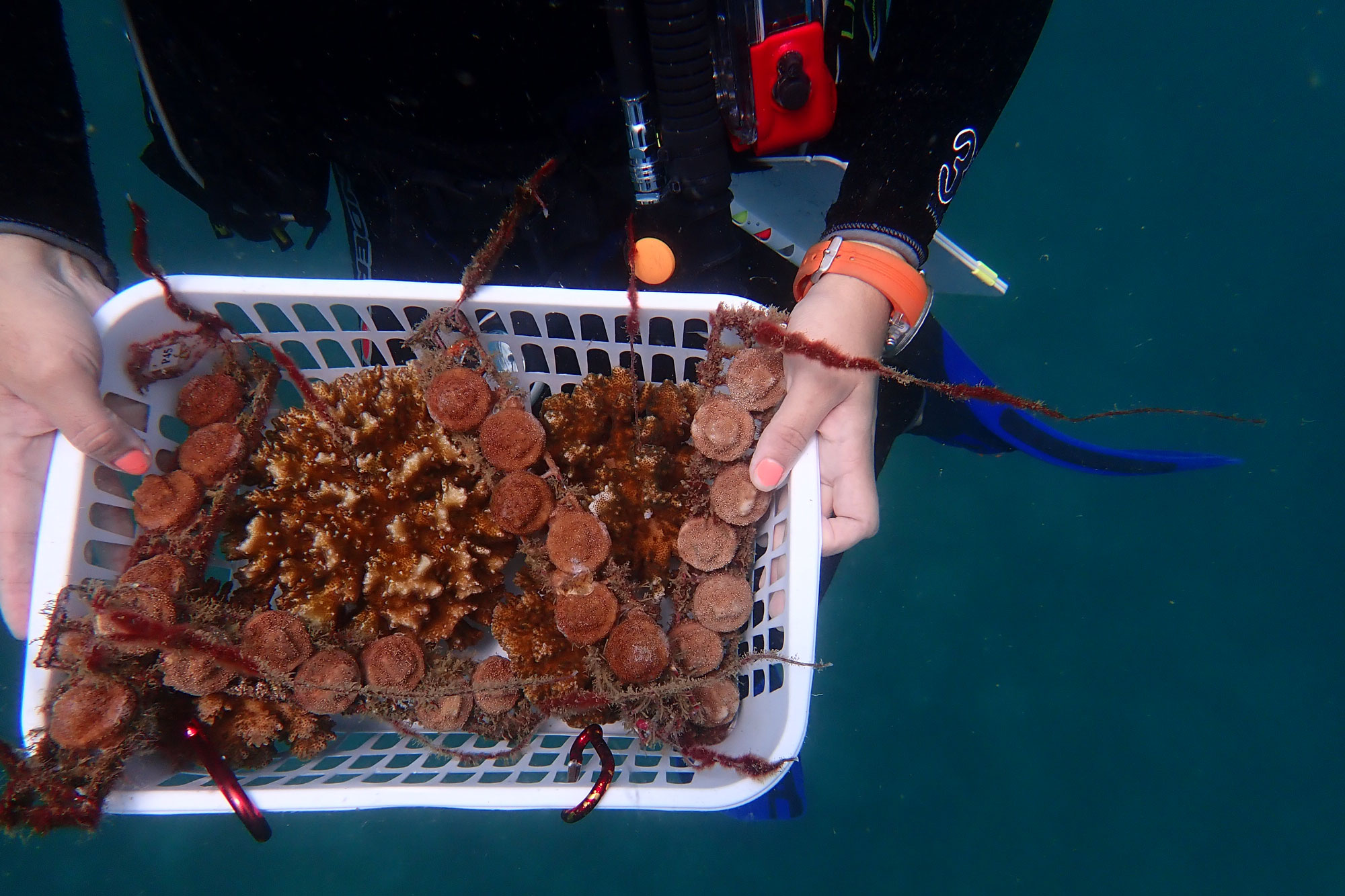 <p>A basket of coral grown by Raising Coral to be replanted in reefs.</p>