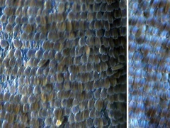 blue-scales