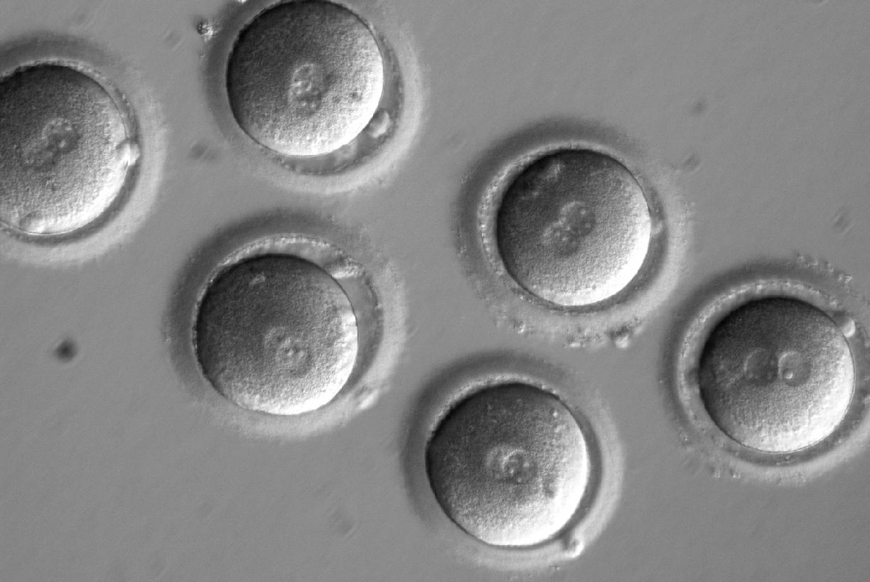embryos-4