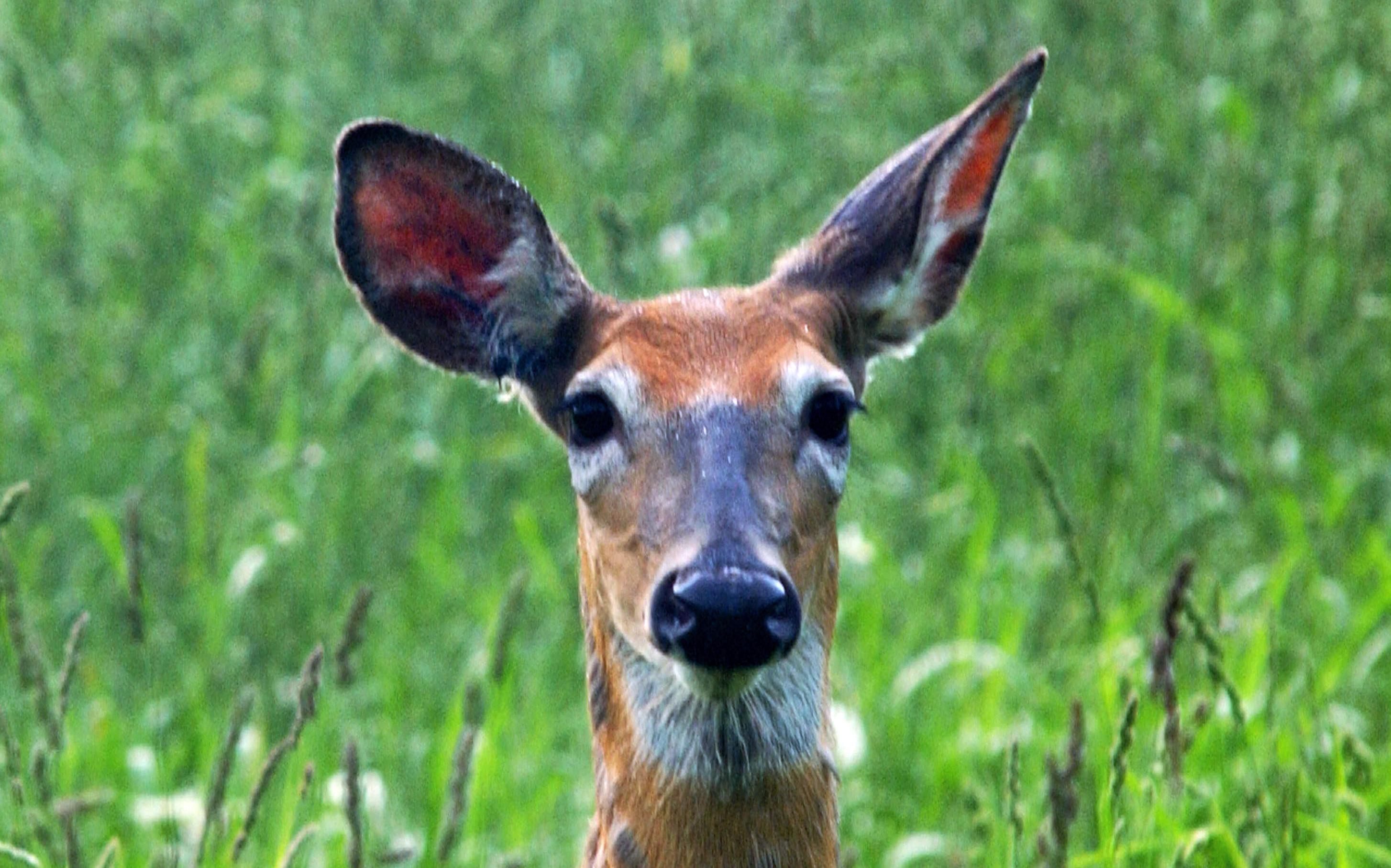white-tailed-deer