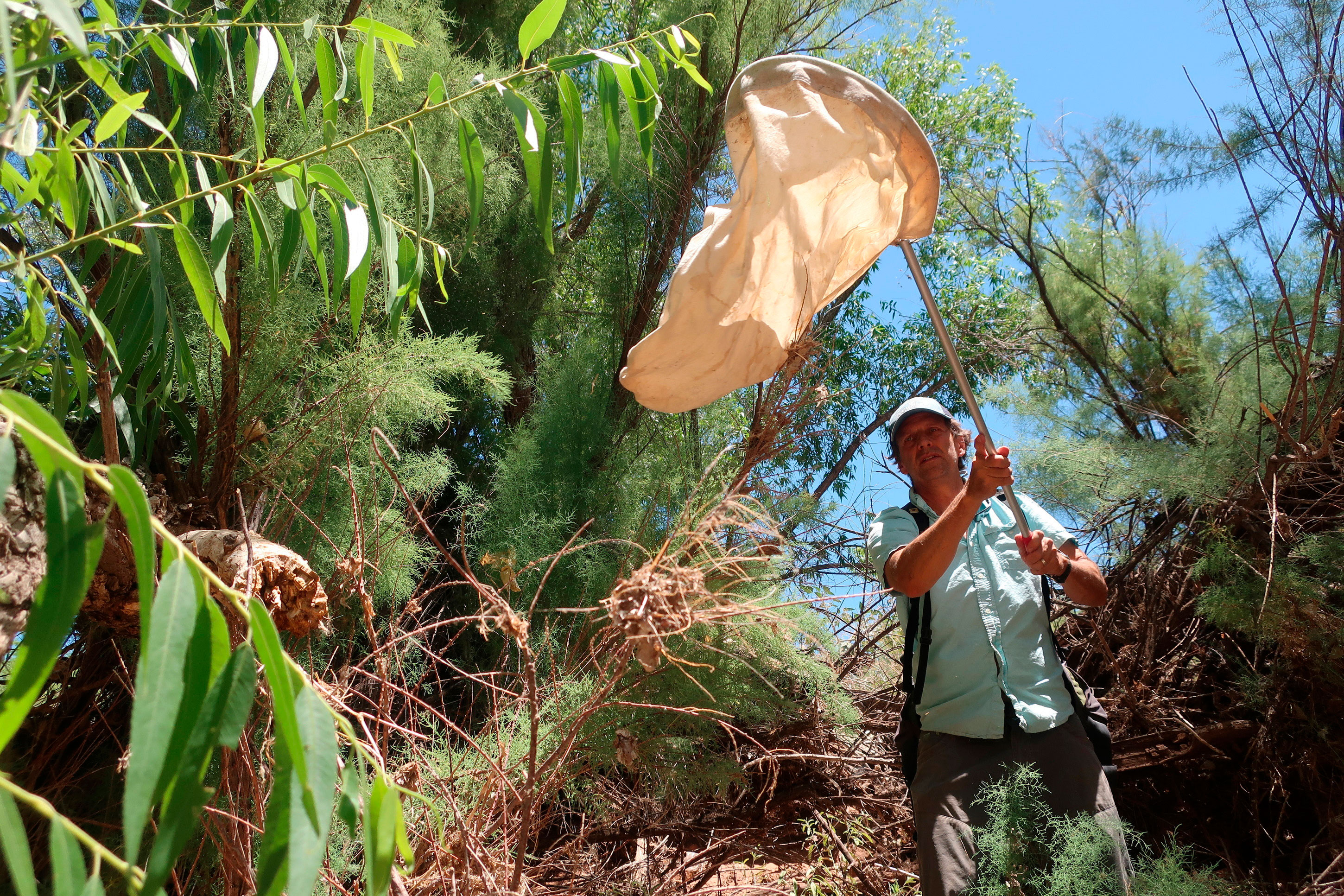 In this Tuesday, July 9, 2019 photo Northern Arizona University researcher Matt Johnson sweeps tamarisk trees along the Verde River in Clarkdale, Ariz., in search of beetles that feed on the leaves. The beetles were brought to the U.S. from Asia to devour invasive tamarisk, or salt cedar, trees.