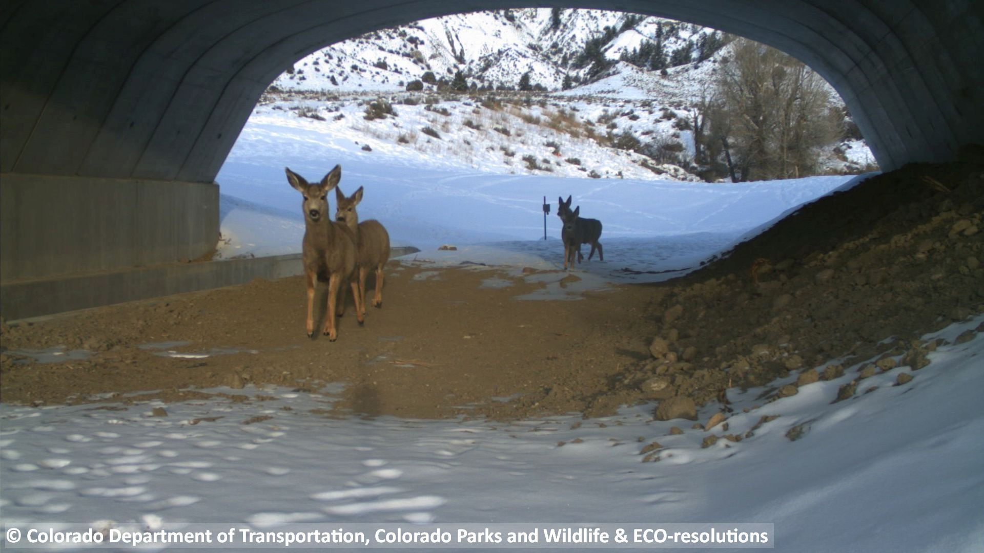 Deer walk under State Highway 9, one of five wildlife underpasses built by the Colorado Department of Transportation along the road between Kremmling and Silverthorne.