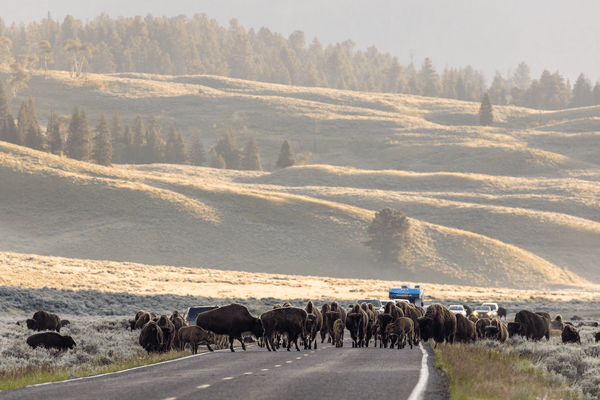 Sunrise bison cross a road near Soda Butte in Yellowstone National Park.