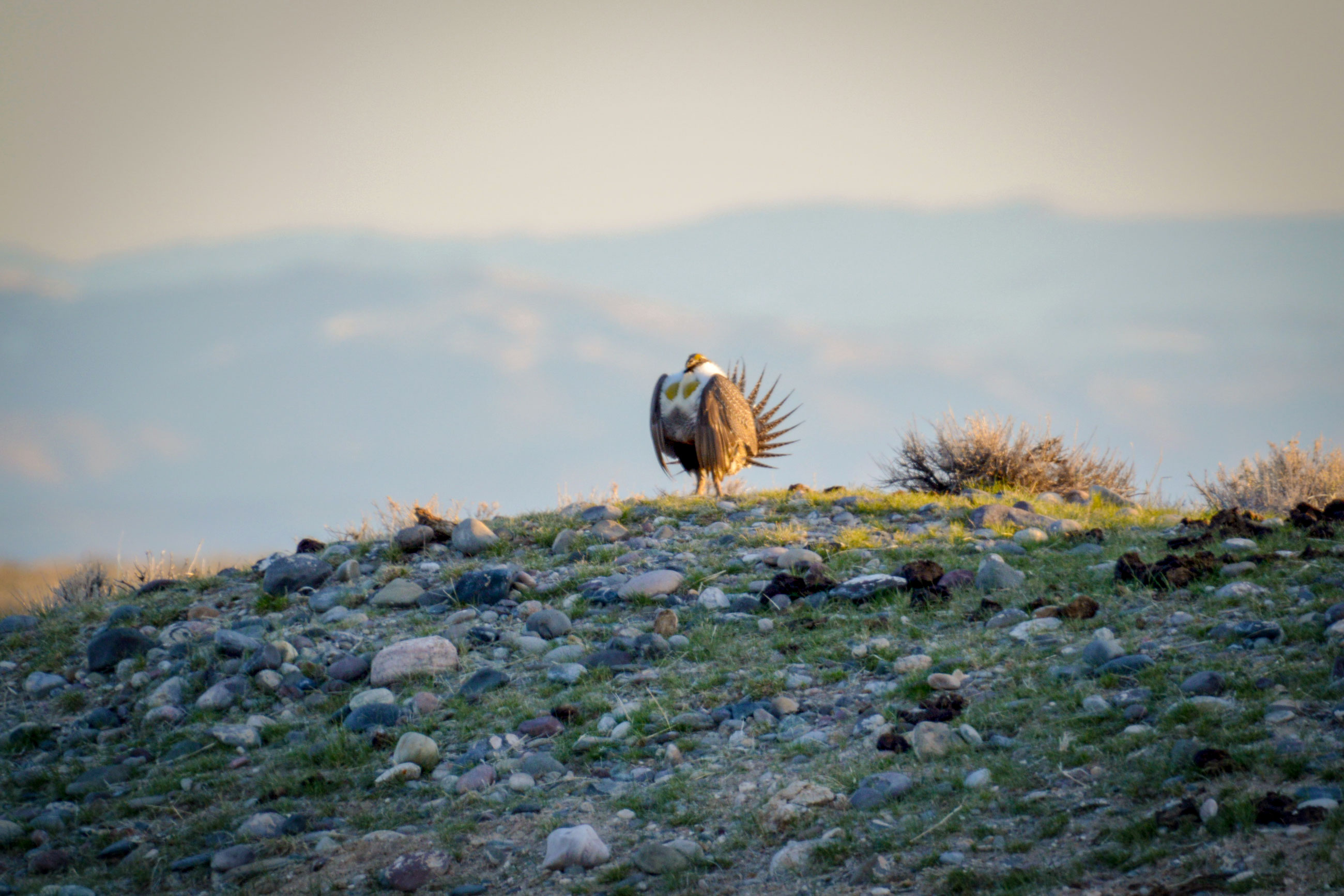 Sage Grouse struts his stuff