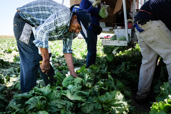 Field workers in Alamosa, Colorado, harvest lettuce in mid-September.