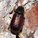 An adult spruce beetle on the bark of an Engelmann spruce tree.