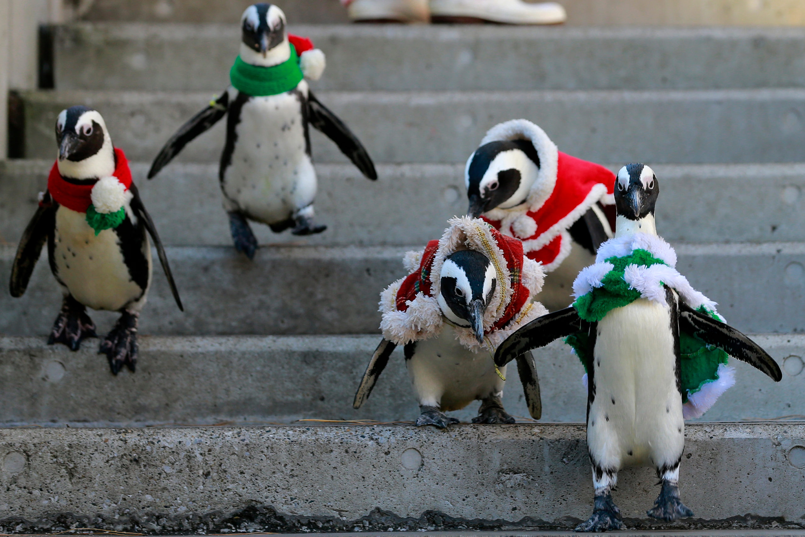 In this Tuesday, Dec. 12, 2017, file photo, African penguins, wearing red and green holiday garments, take a walk at the Hakkeijima Sea Paradise aquarium-amusement park complex in Yokohama, southwest of Tokyo.