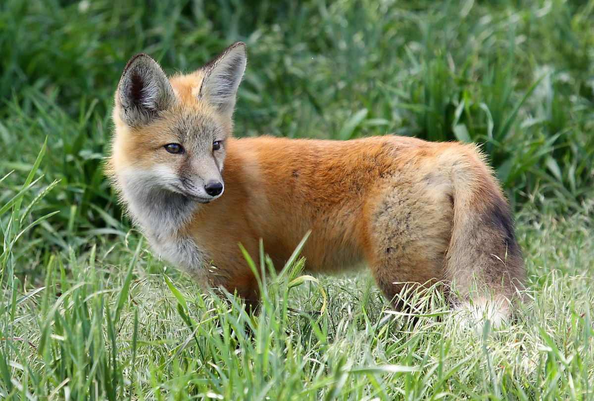 File photo of a red fox.