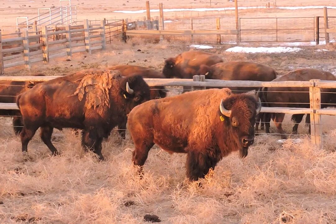 Bison bulls arrive at their new home on the Heartland Ranch Nature Preserve in Bent County.